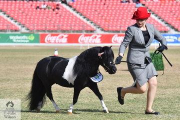 Emma Cooper is pictured with her Champion Miniature Pony Stallion/Colt, 'Ambaura Admiral' (Glenelen Just A Devil/Shanusti Cabaret).