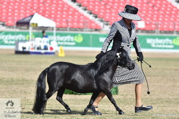 Lori Howell did the honours with the Moore, Howell and Sviderskas nomination, 'Joemoore Sapphire' (Avonlea Rolling Thunder/J. Cainess) to take out the Champion Mare/Filly and Supreme Champion Miniature Pony awards.