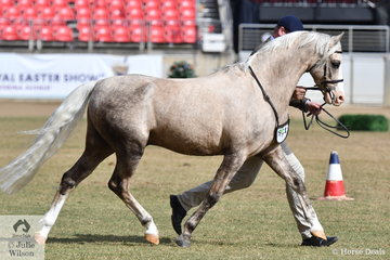 Jane Paroissien's, 'Flirteur Just Jayden' (Kiabe Atlanta/Imperial Just Fine) won the class for Welsh Pony Stallion Four Years and Over.