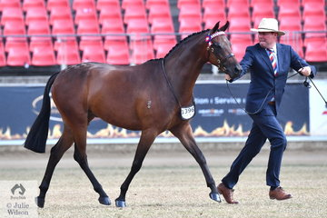 Andrew Buckley is pictued with the EB Lodge and Kylie Abbott nomination, 'Captivate of Sefton' (Dresden Ace of Spades/Moreland Park Royal Rose) during the class for Part Welsh Gelding Any Age Over 13hh.