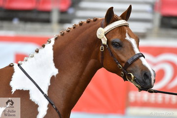 Leanne Dalrymple's, 'Little G Royal Parade' (B'Anembro Kool Colours/Cestwood Pageant) was declared Champion Stallion and Supreme Champion Led Pinto.
