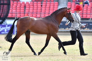 Jenine and Summa Rowe's, 'Whitmere Special Agent (Whitmere Secret Agent/Highcroft Pennies From Heaven)' was declared Champion Led Part Welsh Stallion.