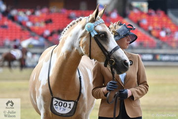 Natalie Ramsay and her, 'Zinthan Masquerade' were doing their best to impress the judge in the class for Best Marked Pinto.