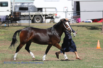 Welsh Pony of Cob Type- Edge Hill Go Go Girl -  Stephen & Kathy Pile