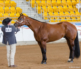 Amateur Colt 2 to 3 yrs, GFM Allovait Boss, Glenn Maynard