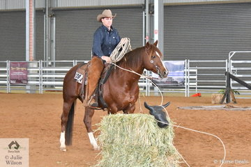 """Ranch Roping and Ranch Team Roping are two of the 9 classes offered at most Ranch Horse events. Roping can also be one of the obstacles in the Ranch Horse Trail class. Riders are only allowed one attempt to capture their """"hay cow"""". Aaron Scobie aboard Amaroo Unique Rock was one of the few riders who did catch his cow in the Open Senior Horse Ranch Trail."""