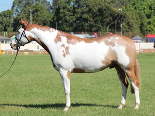 Champion Pinto exhibited by Cherie Jennings