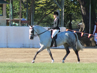 Reserve Champion Show Hunter Hack New World Ministry .exhibited by the Peterkin family