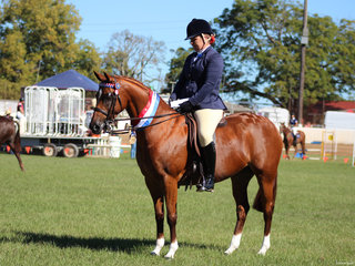 Champion Open Galloway and Supreme Hack exhibited by Madeline McDonald