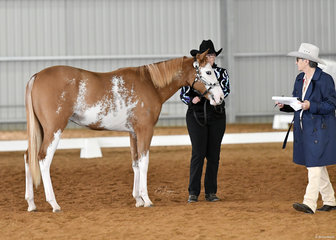 Blue Moon Armegeddon shown in Showmanship by Bree Lornie, with judge Connie Barry