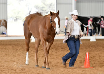 Sue Lawton showing Inspired TE at Halter