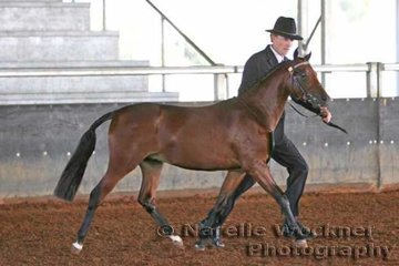 Reserve Champion Youngstock Show Pony Colt 'Tweed Valley First Class' exhibited by Tweed Valley Stud
