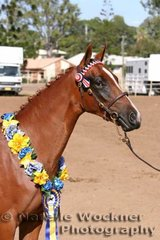 Champion Youngstock Show Pony Filly 'Tremayne Park Rose Gold' exhibited by Bates Family