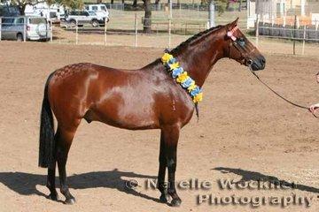 Champion Show Pony Stallion 'Tremayne Gold Edition' exhibited by Tremayne Stud