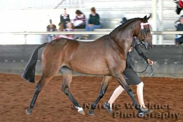 'Dainhill Reflection' exhibited by the George Family working out in the Senior Show Pony Mare over 13.2hh & ne 14.2h