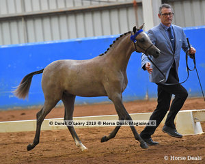 """""""Koora Lyn Celebration"""" exhibited by GG Equine in the Open Weanling to mature under 12.2hh"""
