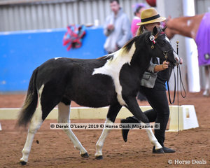 """""""Kyabra Park Fleetwood"""" exhibited by Ami Munro in the Open Weanling to mature under 12.2hh"""