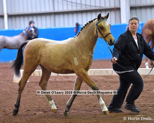 """Lendene Tatiana"" exhibited by Sharyn Williams in the Open Weanling to Mature under 14hh"