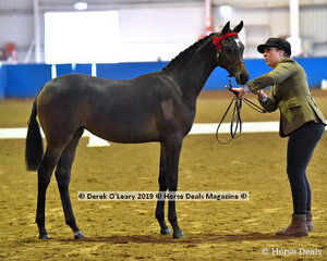 """""""Karma Park Memory Rose"""" exhibited by Sandy Jameison in the Open Weanling to Mature under 14hh"""