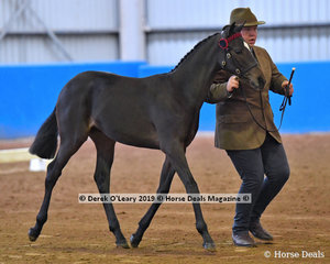 """Ariston Heavinly"" exhibited by Stuart Robinson, winner of the Open Weanling to Mature under 15hh"