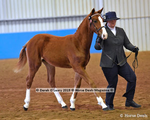 """Oriana Foxtrot"" exhibited by Cassie Cleave in the Open Weanling to Mature under 15hh"