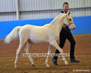 """Sovereign Acres Lancelot"" exhibited by Ryan Baker in the Open Weanling to Mature under 15hh"