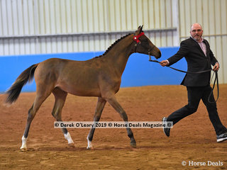 """Azelle VPA"" exhibited by Ben Kelly in the Open Weanling to MAture 15hh and over"