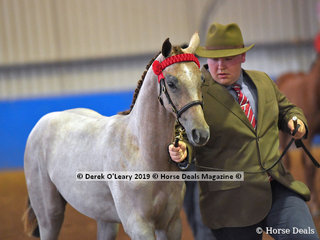 """Westgrove Riverdance"" placed 2nd in the Open Weanling to Mature 15hh and over"