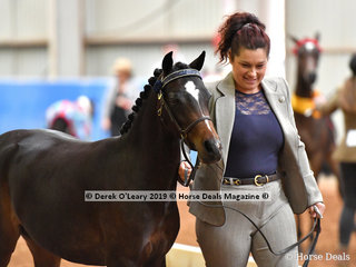 """""""Shalida Park Georgette"""" exhibited by Candice Alberico"""" in the Open Yearling to Mature under 12.2hh"""
