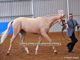 """Winner of the Open Yearling to Mature 15hh and over """"Blonde Ambition"""" exhibited by Belinda Gae Nation"""