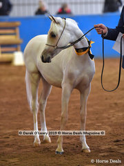 """Sparkles AP"" in the Weanling Arabian Pony Female"