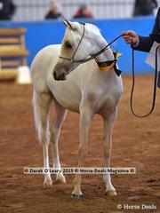 """Sparkles AP"" in the Weanling Arabian Pony Female"