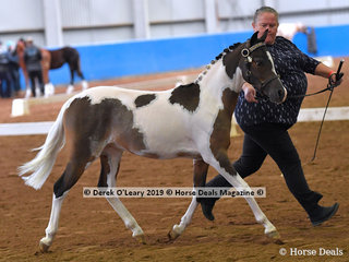 """""""Arabec Lightning McQueen"""" exhibited by Donna Francis in the Weanling Arabian Pony Male"""