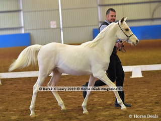 """Sovereign Acres Lancelot"" exhibited by Ryan Baker in the Weanling Partbred Male"""