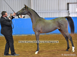 """Veniciaa GW"" exhibited by Tabitha Sager in the Purebred Yearling Filly"