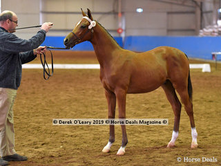 """""""Game On FF"""" Exhibited by GG Equine in the Derivative Weanling Non Pro"""
