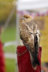 Flight birds of prey