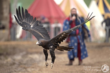 Flight birds of prey presented this beauty, a male wedgetail eagle