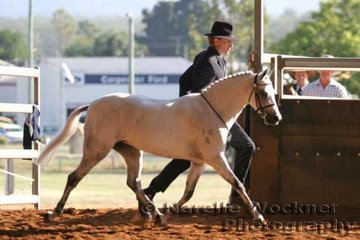 'Fairlight Acres Presley' exhibited by Tweed Valley Stud winner of the Senior Show Hunter Pony Mare not over 12.2hh