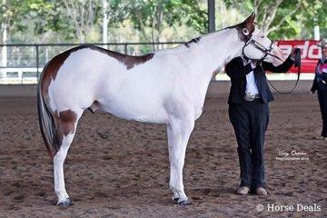 Danielle De Groot's colt, LA Hes A Cool Touch, was the Champion Open & Amateur Paint Horse Stallion/Colt