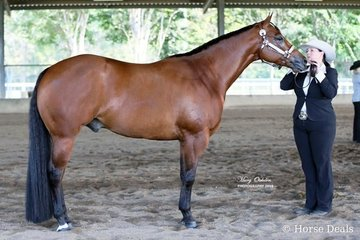 The Champion of both the Open & Amateur Quarter Horse Gelding was Sworn To Secrecy handled by Lee Sims