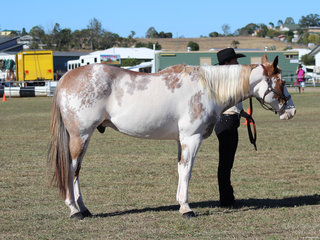 Champion Led coloured horse