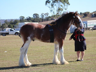 Champion led Heavy Horse