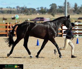 Striding through their workout with a floating trot was Hannah Rockwell from Pymble Ladies College in the year 7 - 9 Show Hunter Led with her pony Karingal Sienna.