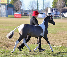"""Second placegetter in the Riding Pony Filly to mature not exceeding 13hh class Brandy Holly Stud's """"Brandy Hollow Hello Dolly""""."""