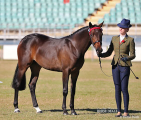 """A picture of elegance! Piper Hodge and """"Paulgren Park Virtuous"""" collected a coupl eof broad sashes -  Champion API Filly Youngstock and Champion Saddle Pony Filly Youngstock."""