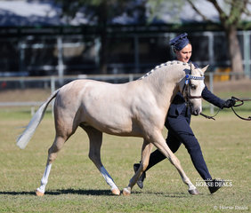 """""""Paugren Park Miss Victoria"""" shown by Phoebe Erskine was Supreme Champion Palomino Youngstock, Champion Part Welsh Filly Youngstock, Runner Up Supreme Part Welsh Youngstock."""