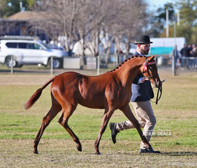 """Champion Riding Pony Filly Foal """"Elizabeth Farm Miss Midler"""", exhibited by Tonia Taylor and led by Cameron Wood."""