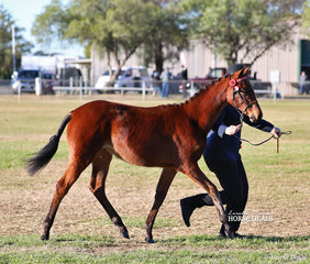 """""""Kiabe Shades Of Spring"""" was exhibited by Annabelel Giles and placed second in the Riding Pony Filly Foal to Mature over 13hh."""