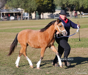 """""""Emerald Coad Picture Perfect"""" placed 2nd in the Welsh Mountain Pony Colt Foal class, exhibited by Emerald Coad Stud."""